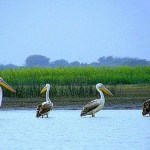Cranes at Chandlai pond