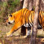 Tiger in Ranthambore National-Park