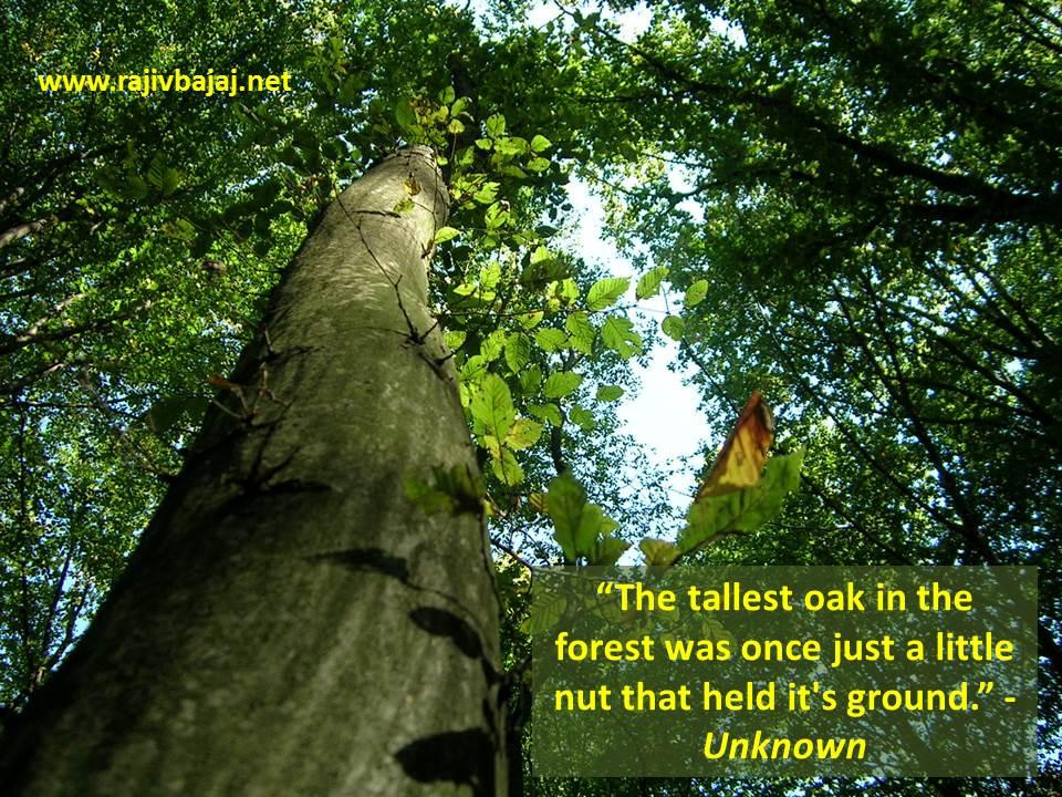 Tallest Oak