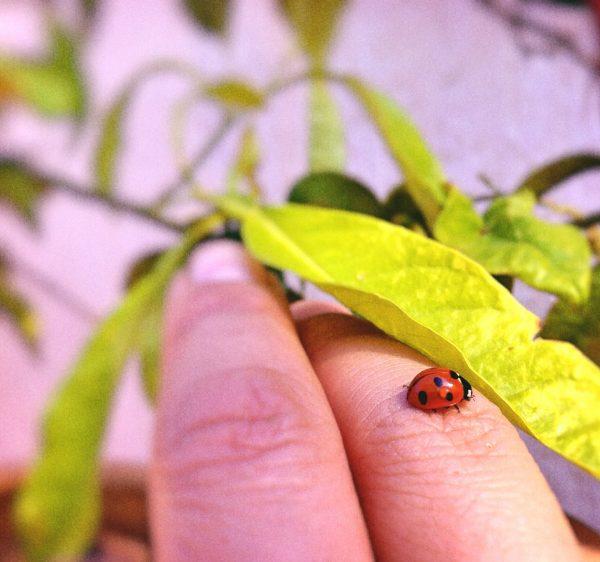 moment de vie insecte coccinelle doigt nature feuille plante