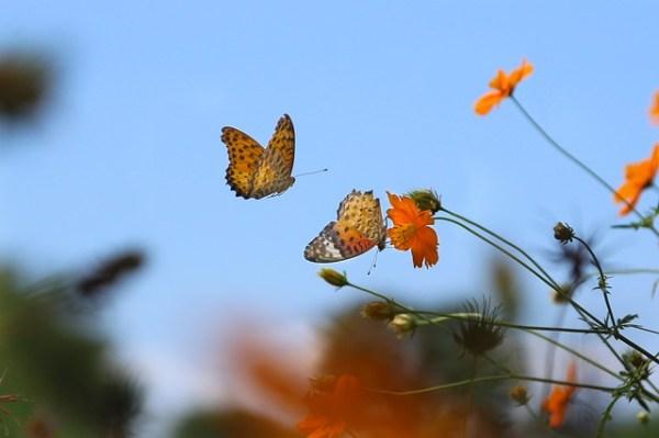 Papillon en plein vol butiner une fleur