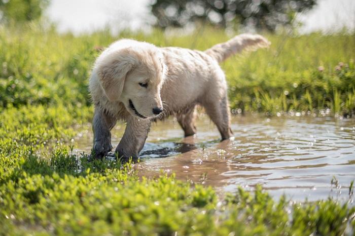 Golden Retriever puppy in mud.