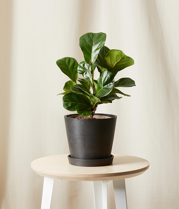 Ficus Little Fiddle