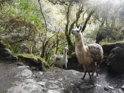 Llamas on the trail.