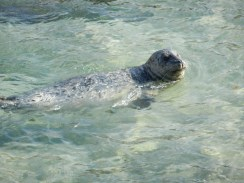 Harbour seal.