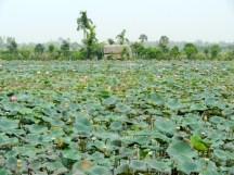 Lotus flower fields.