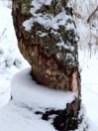 Beaver-chewed tree.