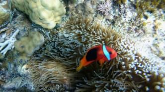 Clown fish.
