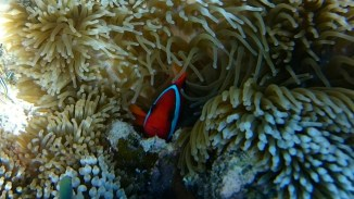 Clown fish peaking.
