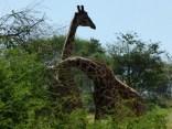 Giraffes fighting.