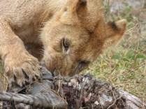 Lion eating.