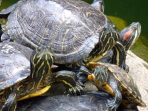 Turtles or tortoises.