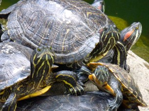 Turtles or tortoises.