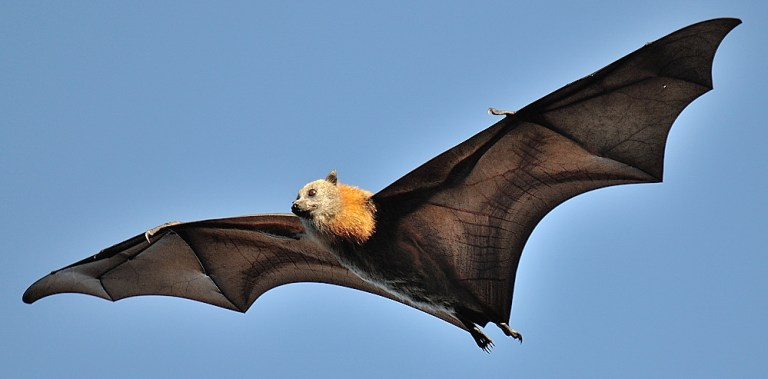 Nipah-Virus-Grey-Headed-Flying-Fox-Size