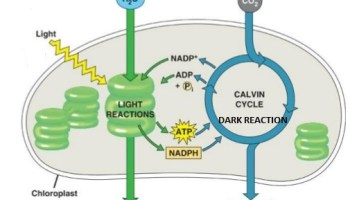 Dark reaction photosynthesis simplified biology photophosphorylation light reaction ccuart Image collections