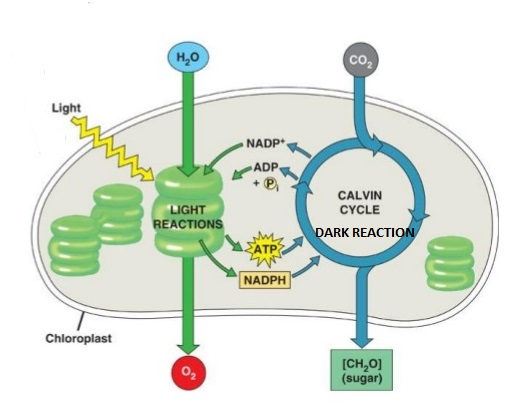 Photophosphorylation Light Reaction Simplified Biology
