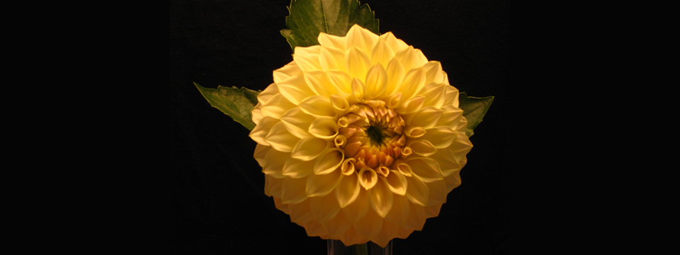 https://i1.wp.com/www.ramonaluengen.com/wp-content/uploads/2013/01/2008-Dahlia-Hybrid-personally-named-after-Ramona.-Originator-Gordon-Stach..jpg?resize=960%2C360