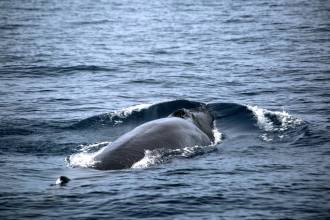 Bryde Whale | Fuerteventura