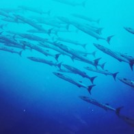 Barracudas | Solomon Islands