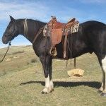 Shotgun The Kind Everyone Is Looking For Gentle Half Draft Gelding With Lots Of Experience