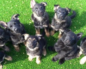 German-Shepherd-Puppies