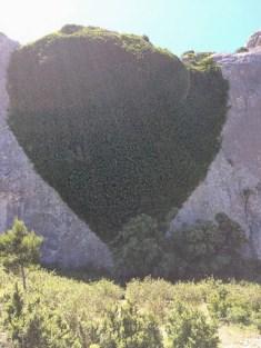 Lierre en forme de coeur