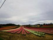 champ de tulipes