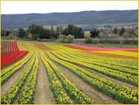 Pied d'Aulun et les tulipes d'Hypolite