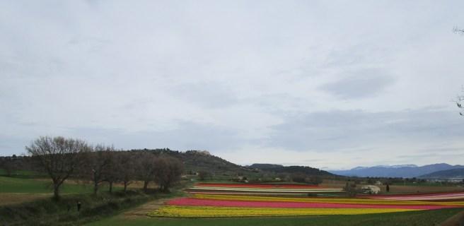 Lurs domine les champs de tulipes