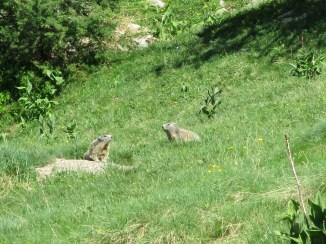 couple de marmottes qui jouent