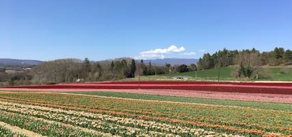 Tulipes précoces de Haute-Provence