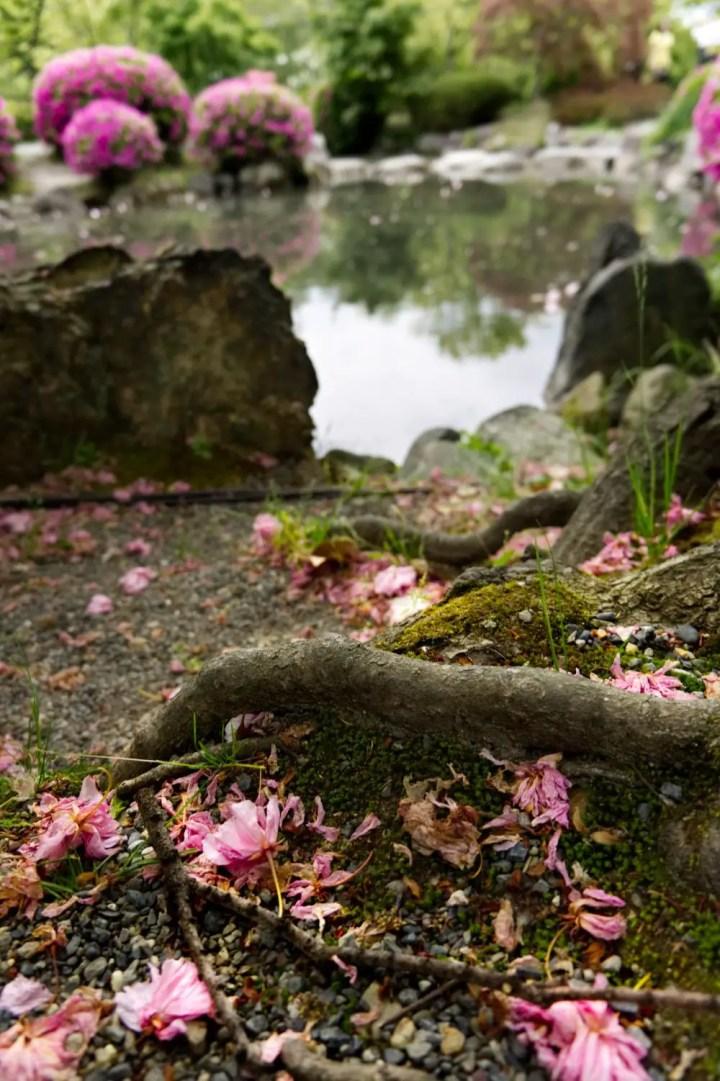 Sakuras in Japan
