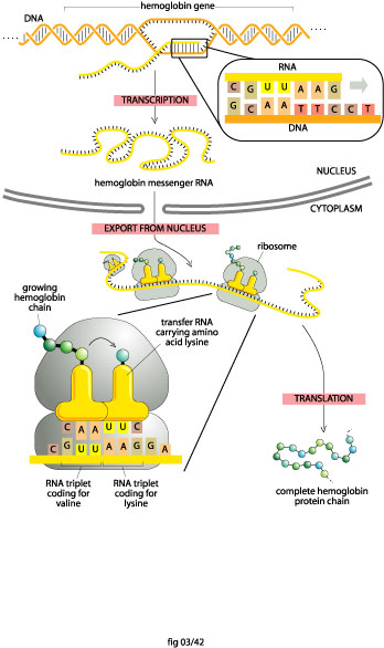 The Process of DNA to Protein