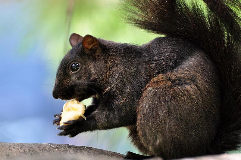 Squirrel, munching away