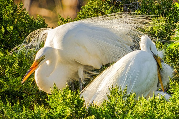 Snowy Egret family