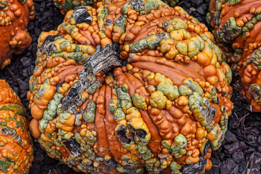 Pumpkin with colorful bumps
