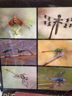 Dragonflies by nature photographer Ron Oriti