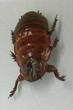 Giant Burrowing Cockroach1