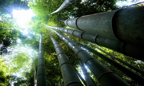 Giant Bamboo (Dendrocalamus Giganteus)