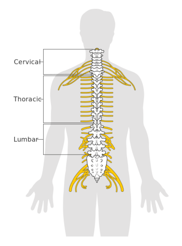 Segments of the spinal cord