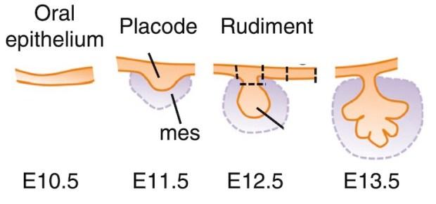 Artificial Salivary Gland Tissue