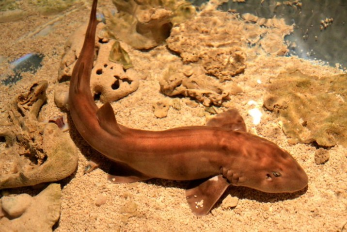 Brownbanded bamboo shark