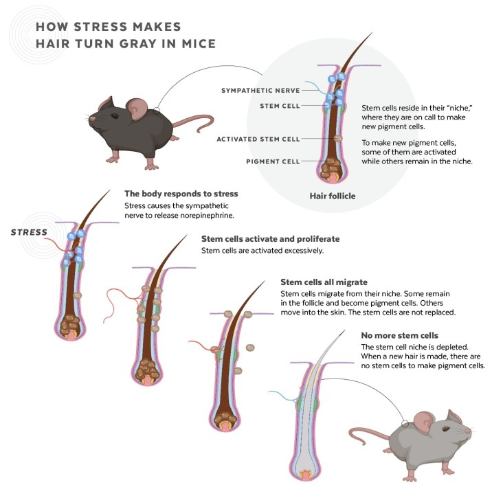 how Stress Turns Hair Gray