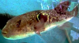 Takifugu rubripes - deadliest animals in the world