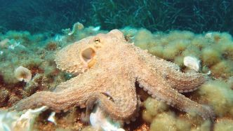 Common octopus - Smartest animals in the world