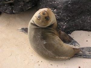 Galápagos fur seal. Credit: Francesco Bandarin