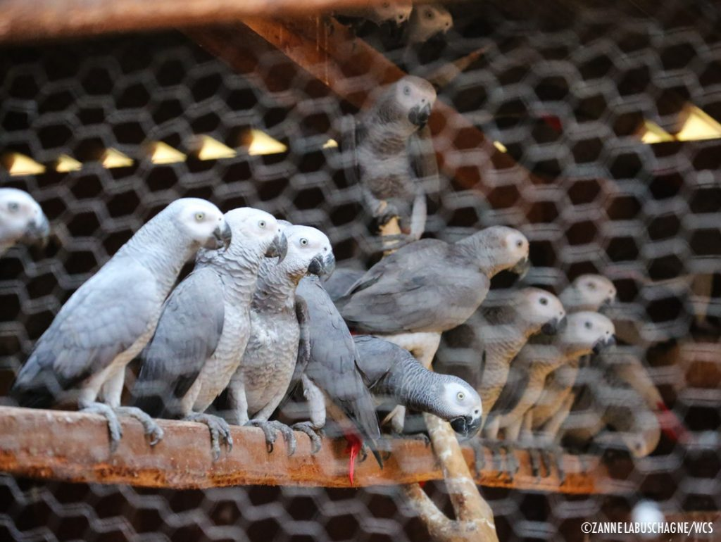 African grey parrots in a rehabilitation facility in Sangha Trinational Park. Credit: Zanne Labuschagne/WCS