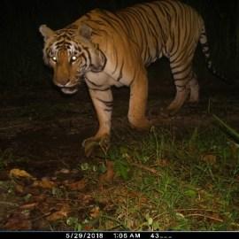 Eviter une crise pour les Tigres du Népal