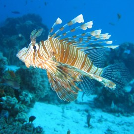 Reducing impacts of a potential lionfish invasion in the Brazil Atlantic Islands