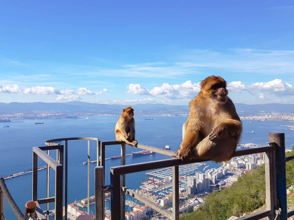 Barbarije makaak op de rots van Gibraltar.